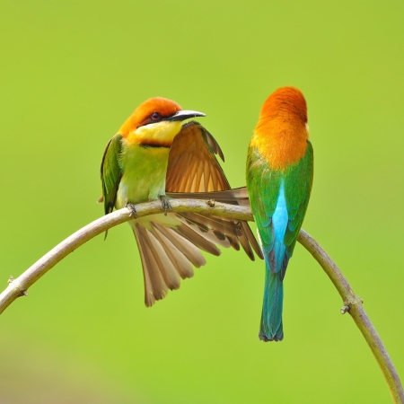 migrating animal: Couple of Bee eater Bird