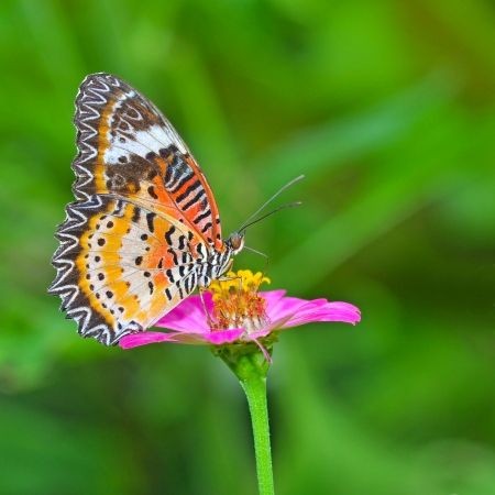 lacewing: Closeup Butterfly on Flower (The Malay Lacewing) Stock Photo