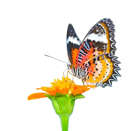 Closeup Butterfly on Flower (The Malay Lacewing) photo