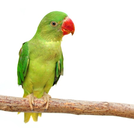 Beautiful green Parrot isolated on white with clipping path. Stock Photo - 18591604