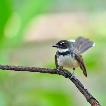 fantail: Pied Fantail bird sitting on bracnh Stock Photo