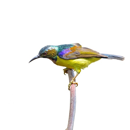 brown throated: A male Brown-throated Sunbird is perching on branch.(Anthreptes malacensis)