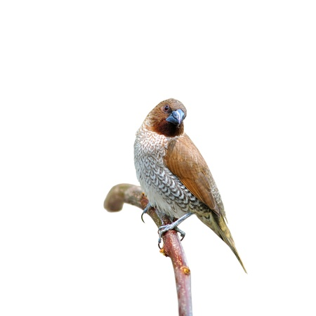 feathe: spotted munia bird sitting on branch Stock Photo