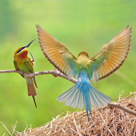 Couple of Bee eater Bird  版權商用圖片
