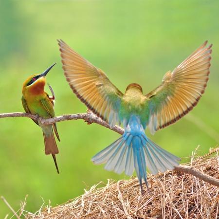Couple of Bee eater Bird  Foto de archivo