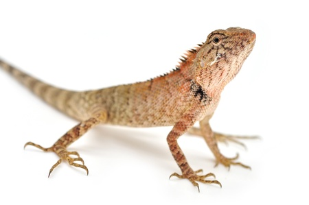 lizard looking for something on white background  photo