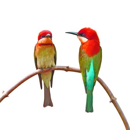 Couple of Beautiful colorful bird on white background photo
