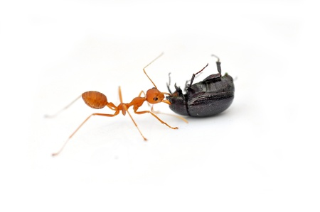 Red ants working to take down a beetle