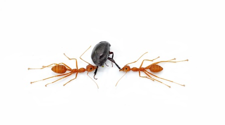 Red ants working to take down a beetle isolated on white background Stock Photo - 19708543