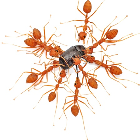 compatriot: Red ants working to take down a beetle isolated on white background