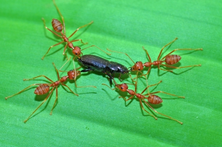 compatriot: Red ants working to take down a beetle