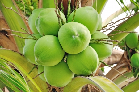 green coconut at tree photo