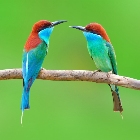 couple of Beautiful Bee-eate bird ( Blue throated Bee eater) on green background photo