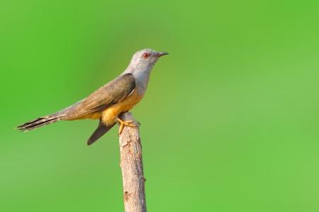 plaintive: Plaintive Cuckoo bird siiting on branch whit green background Stock Photo