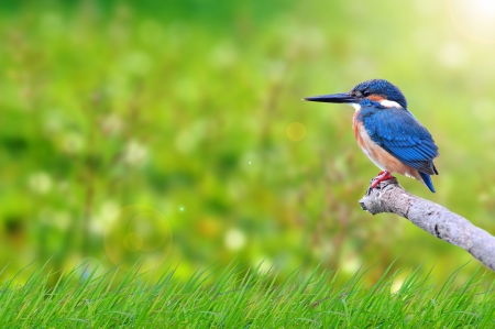 common kingfisher: natural green background