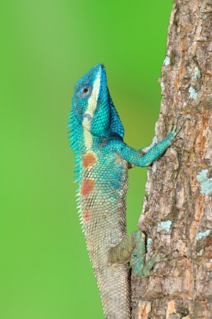 Blue Lizard with big eyes in closed up details, on green background Stock Photo