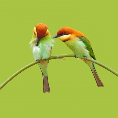 mating colors: Couple of Bee eater Bird on green background