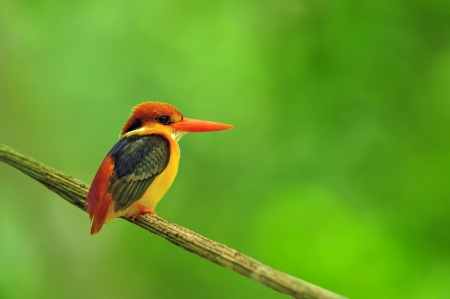 A beautiful bird Black-backed Kingfisher (Ceyx erithacus) photo