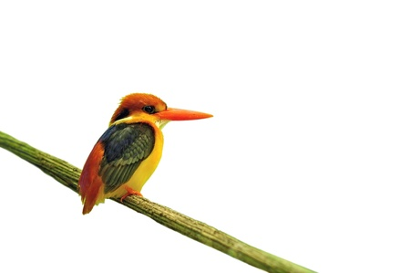 erithacus: A beautiful bird Black-backed Kingfisher (Ceyx erithacus) on white background Stock Photo