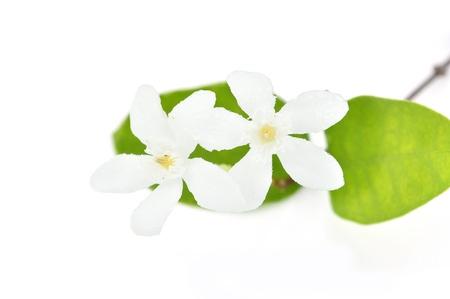 jessamine: White Orange Jessamine flower isolated on a blue background