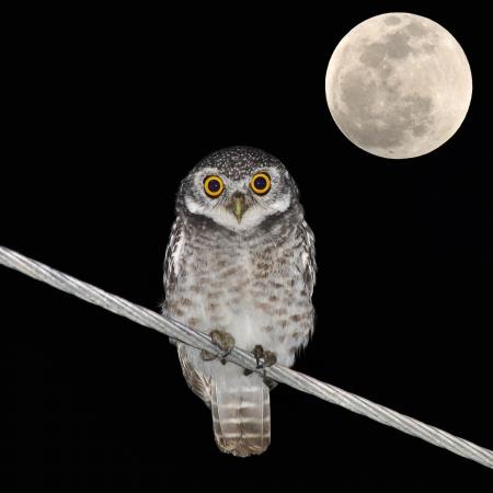 night owl: Owl bird at night and the moon
