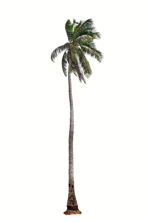Palm Tree on white background Stock Photo - 20569799