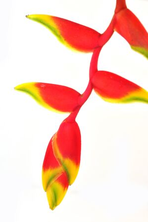 Tropical heliconia flower (Heliconia stricta), isolated on a white background photo