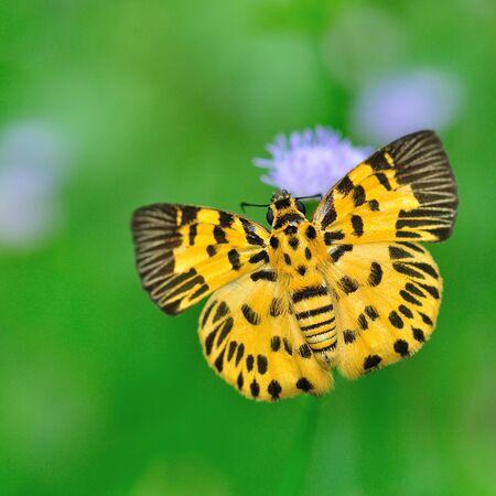 Zigzag Flat Butterfly on purple flower  photo