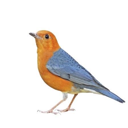 birds on branch: Orange-headed Thrush on a white background