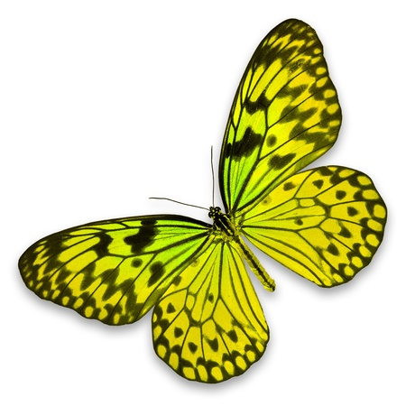 Yellow Butterfly on white background photo