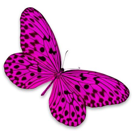 papillon rose: Papillon rose sur fond blanc