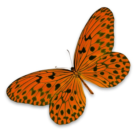 Orange Butterfly on white background photo