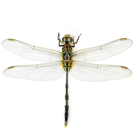 snaketail: Orthetrum sabina. Green Snaketail dragonfly on a white background. Stock Photo
