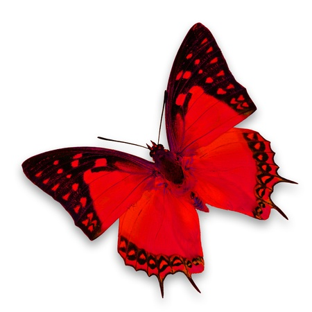 mariposas volando: Mariposa roja sobre fondo blanco Foto de archivo