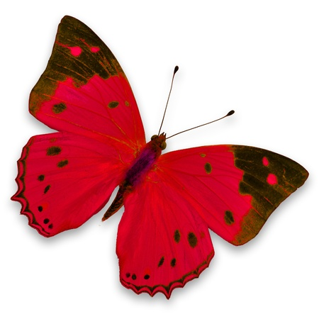 purple butterfly: Red butterfly isolated on white background  Stock Photo