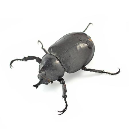 entomological: horned beetle on white background