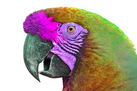 ararauna: Close-up colorido guacamayo Ara ararauna cabeza