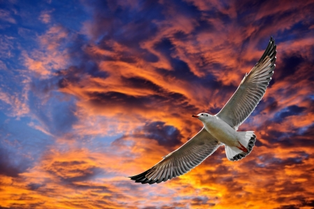 hover: Seagull hover between sunset  Stock Photo