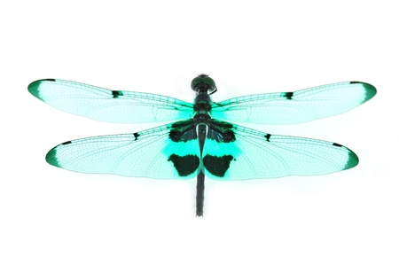 damselfly: Colorful dragonfly isolated on white background