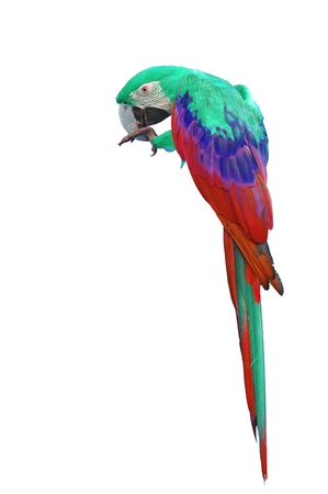 Colorful Red-and-green Macaw isolated on white background photo