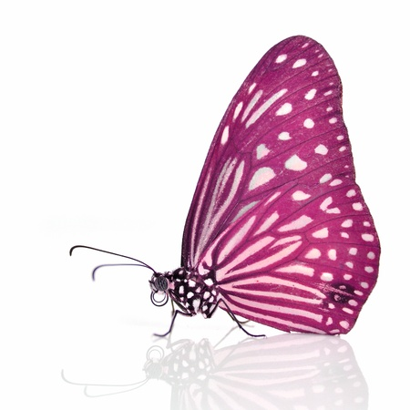 pink butterfly: Pink Butterfly Isolated on white background.