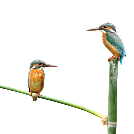 A pair of kingfisher on white background