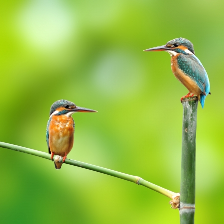 A pair of kingfisher on green background