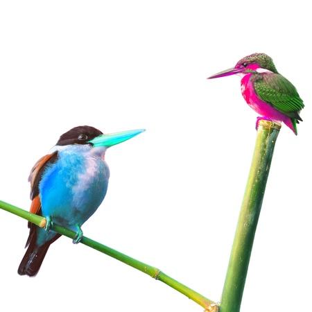 encounter: Encounter of Kingfisher Bird on white background