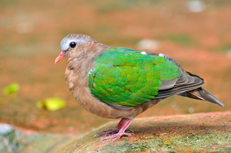 Emerald dove or Green Pigeon, Chalcophaps Indica, bird of Thailand  photo