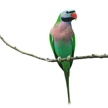 Beautiful parrot bird isolated white background Standard-Bild
