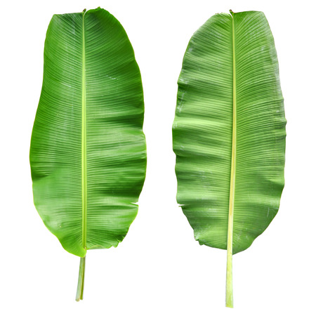Banana Leaf Isolated  photo
