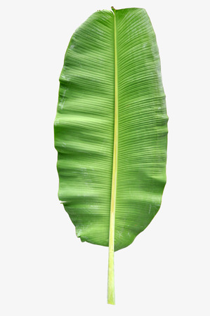 Banana Leaf Isolated