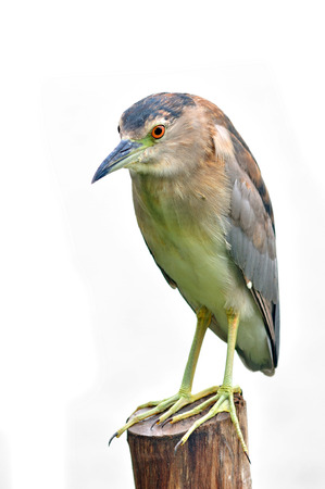 Black-crowned Night-Heron on white background.(Nyctico rax nycticorax)  photo