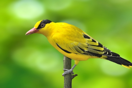 Black-naped Oriole, beautiful bright yellow bird Oriolus chinensis on green background